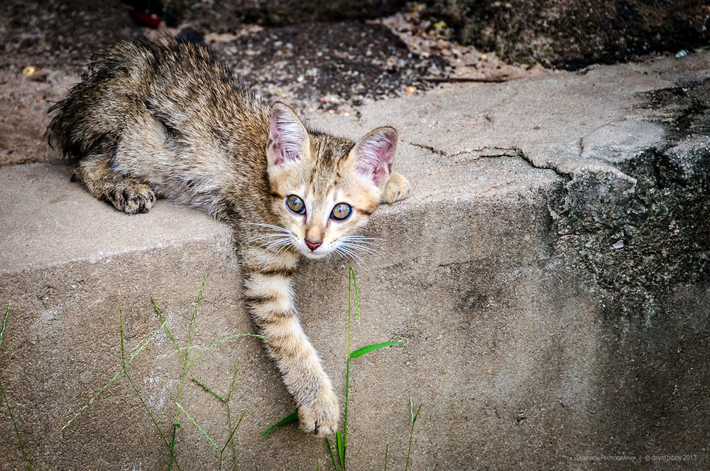 Manky kitten  - Kitten teaching some grass not to mess with it. Near Dam Dek, Siem Reap Province, Cambodia.