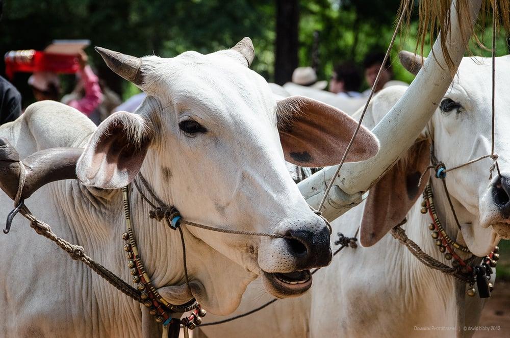 Ox cart  - Kampong Tralach, Cambodia.