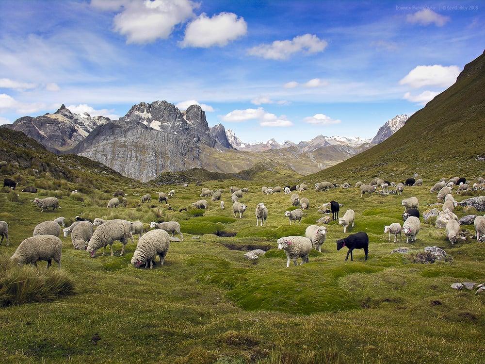 Ovejas grazing below Cordillera Raura. Cordillera Huayhaush, Peru.
