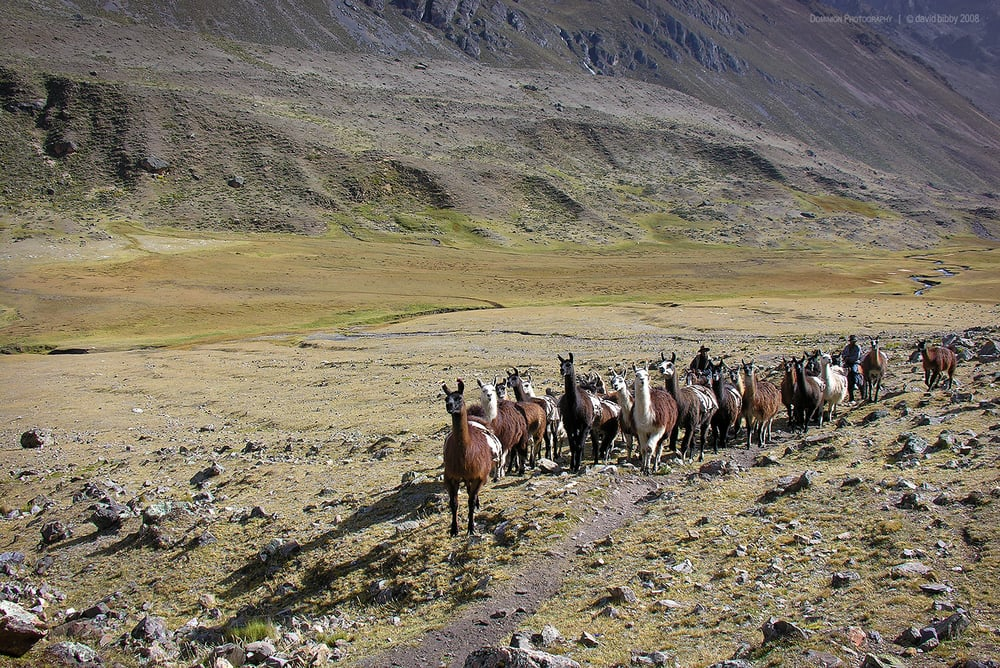 Llamas carrying seed potatoes for trading. Cordillera Huayhuash, Peru.