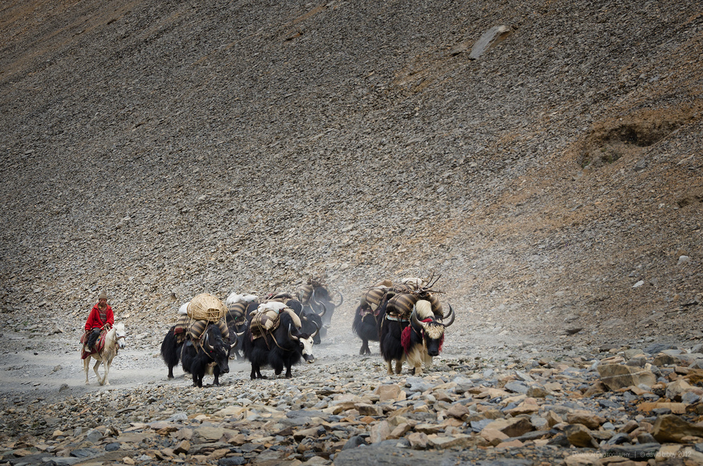 Yaks ascend towards Bagala La (5169m). Dolpa district.