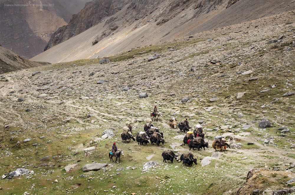 Yaks below Bagala La (5169m). Dolpa district.