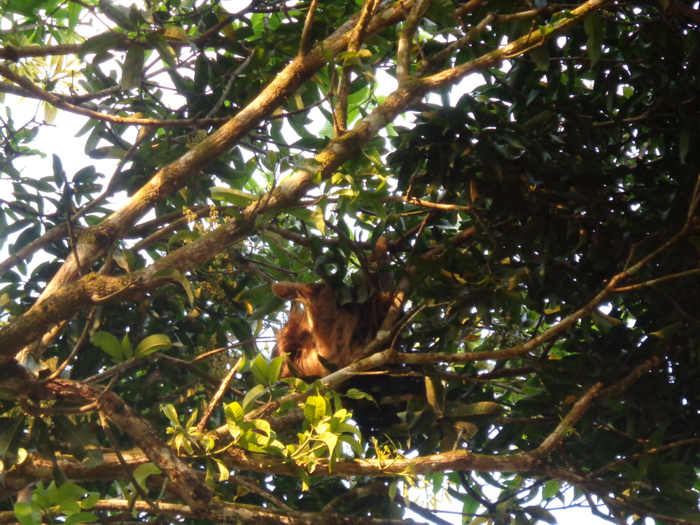 On a random note there is a sloth currently staying in our mango tree!
