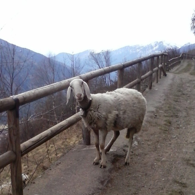 The #Real #Grimpeur #MTB #vallecamonica #sheep on the #trail #walkingpullover