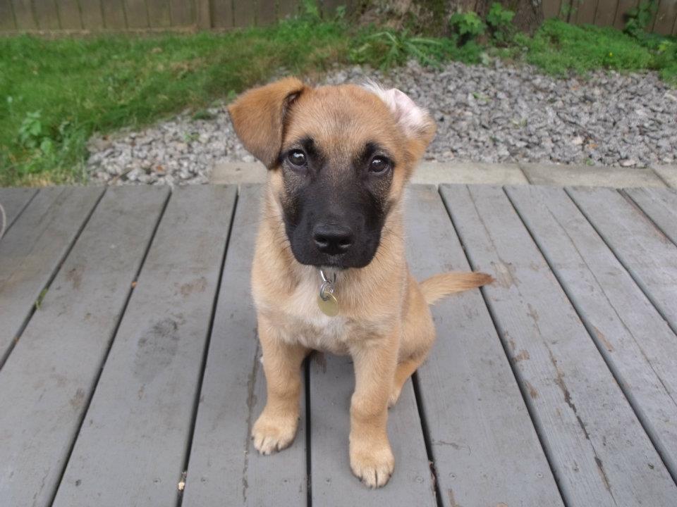 Charlie Puppy Flop Ear.jpg