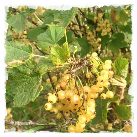 Vita vinbär i vår trädgård