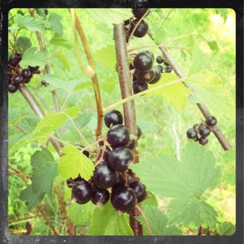 Svarta vinbär i vår trädgård
