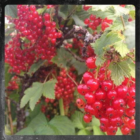 Röda vinbär i vår trädgård
