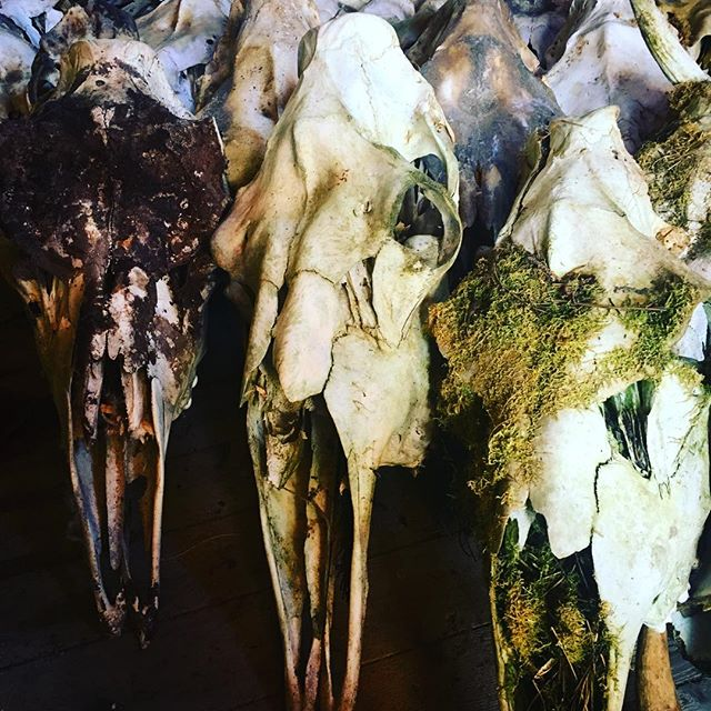 Beautiful skull art by mother nature❤️ #skullartistsweden #taxidermyart #skullart #skulls #skullartist #boneartist #boneart #bone #mooseskull #skullsandbones #skullsandbonesartwork