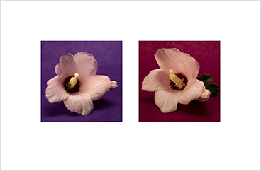 Local Color 6 (Rose of Sharon)