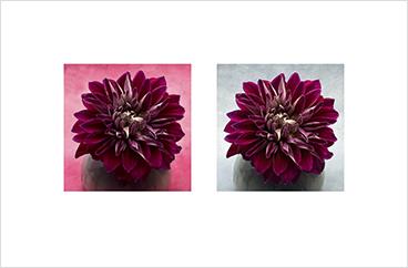 Local Color 7 (Pink dahlia)
