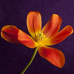 Orange 3 (Tulip)
