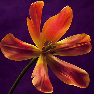 Orange 7 (Tulip, left)