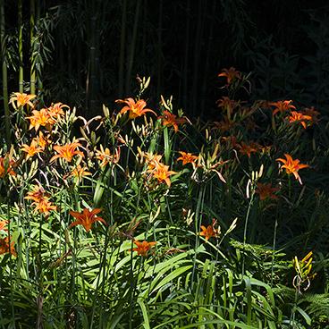 Tiger lilies_©acfallen.png