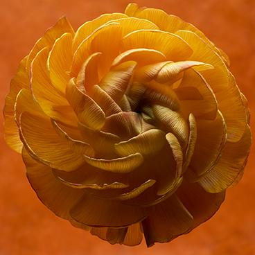 Orange 9 (Ranunculus)