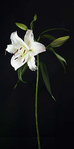 Limelight 1 (Lily)