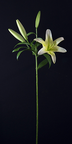 Limelight 5 (Lily)