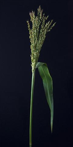 Limelight 11 (Broom Corn)