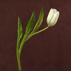 Conversation 2 (Solo White Tulip)