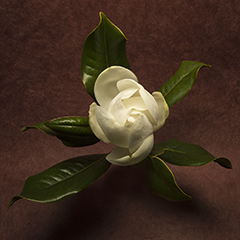 Magnolia Grandiflora 4