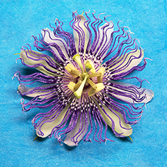 Passionflower 3 (Blue)