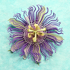 Passionflower 6 (Turquoise)
