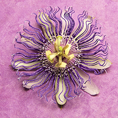 Passionflower 7 (Pink)