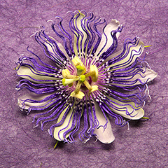 Passionflower 9 (Purple)