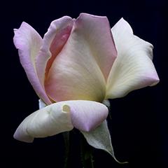 Small 1 (Peace Rose)