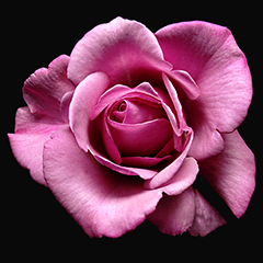 Small 3 (Pink Rose)