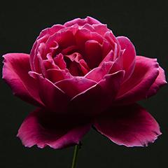 Small 5 (Dark Rose)