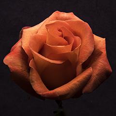 Small 10 (Orange Rose)