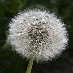 Small 11 (Dandelion)