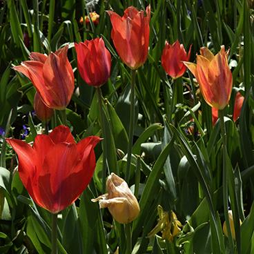 Dallas flower 3_©acfallen.png