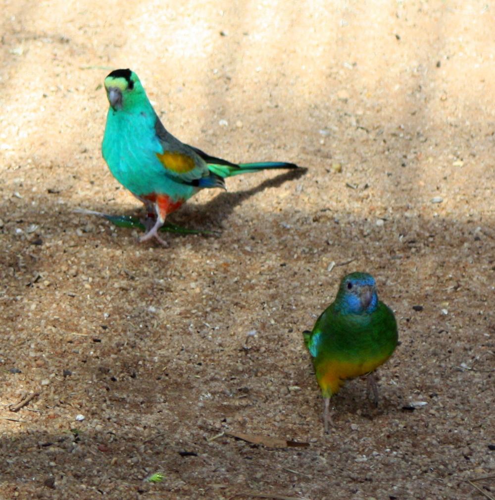 Two Rainbow Birds (2013)