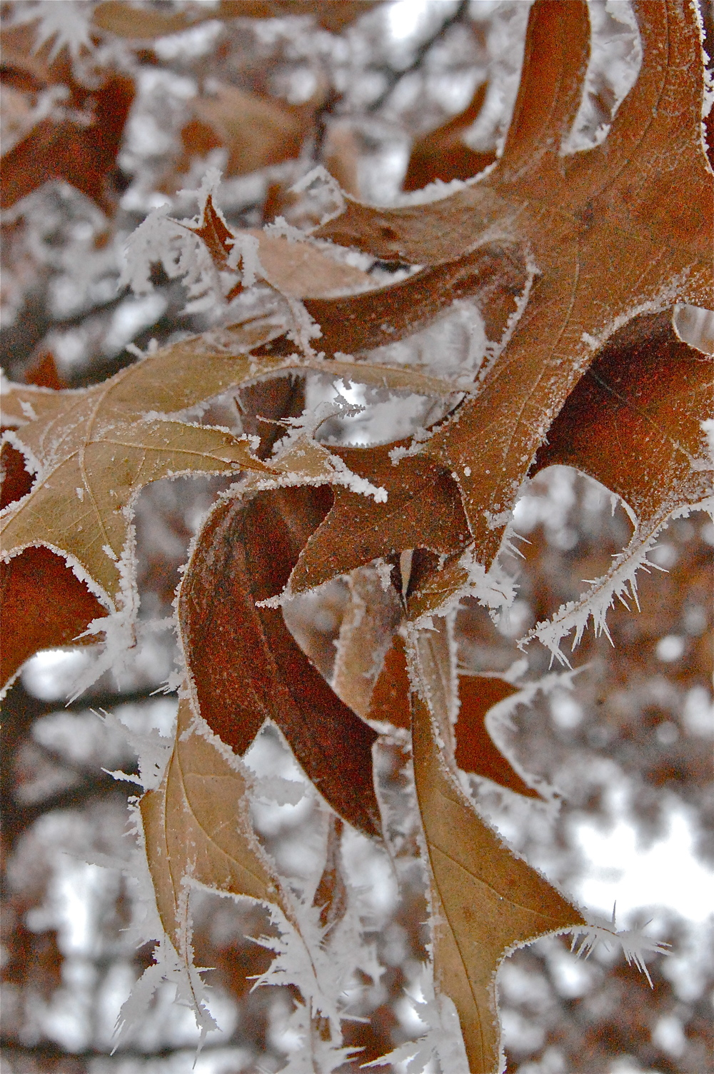 Ice Leaves