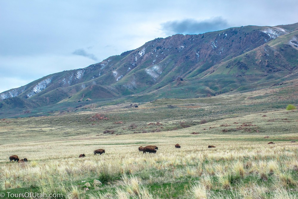 Antelope Island Wildlife Safari.jpg