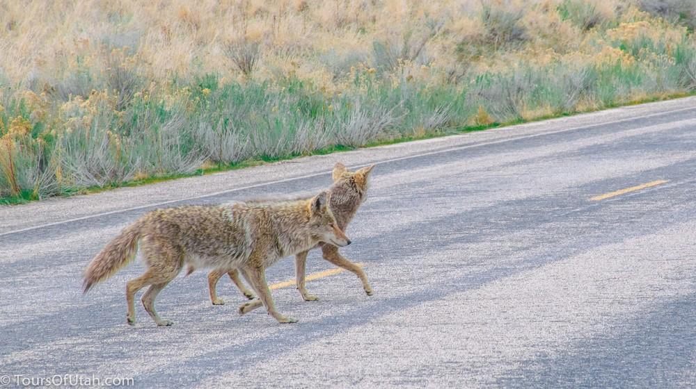 Antelope Island safari.jpg