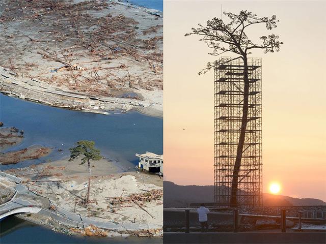 Prjkt Dump_Japan_Miracle Pine Tree.jpeg