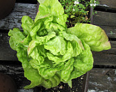 2g-approx-2000-lettuce-seeds-may-queen.jpeg