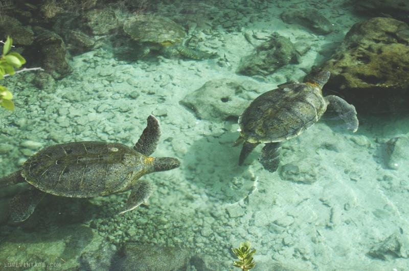 xcaret+park+aquarium+young+sea+turtles.png