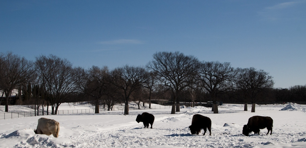 Majestic Manitoba Bison