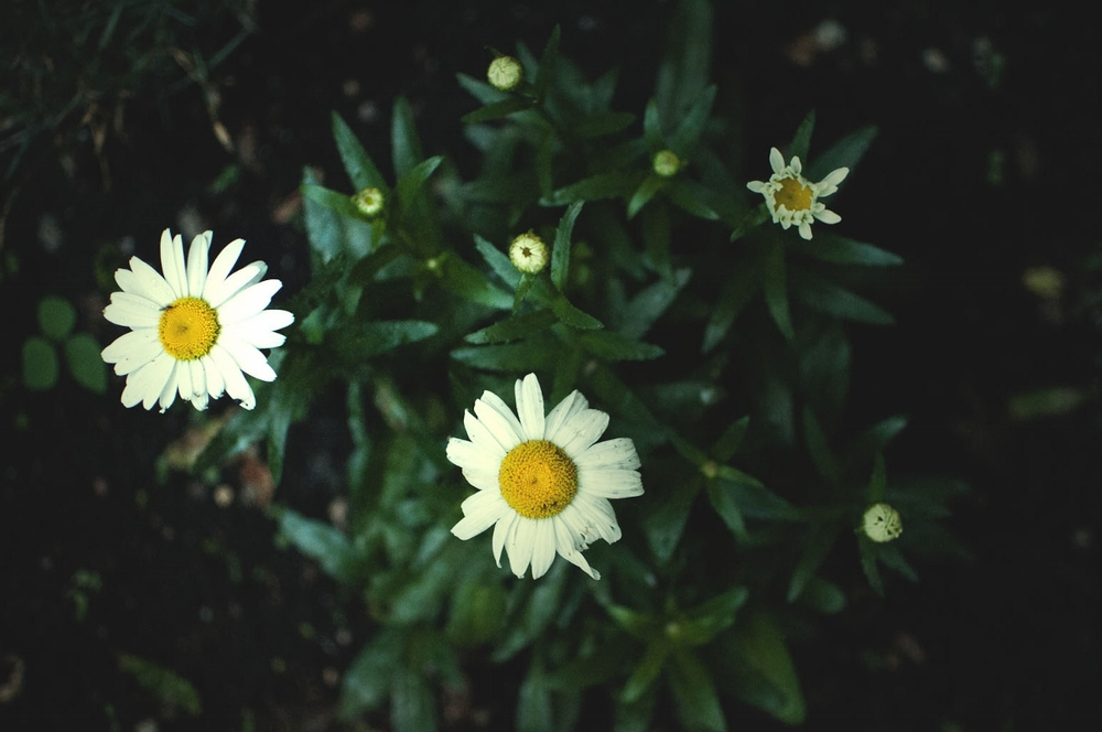 lune daisy garden (1200x797).jpg