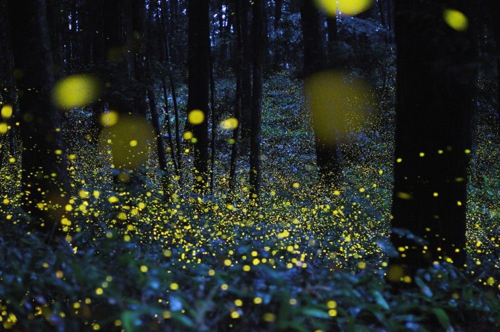 Long Exposure Images Of Lightning Bugs In Japan / source