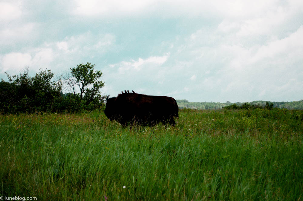 bison riding mountain manitoba lune blog (12 of 16).jpg
