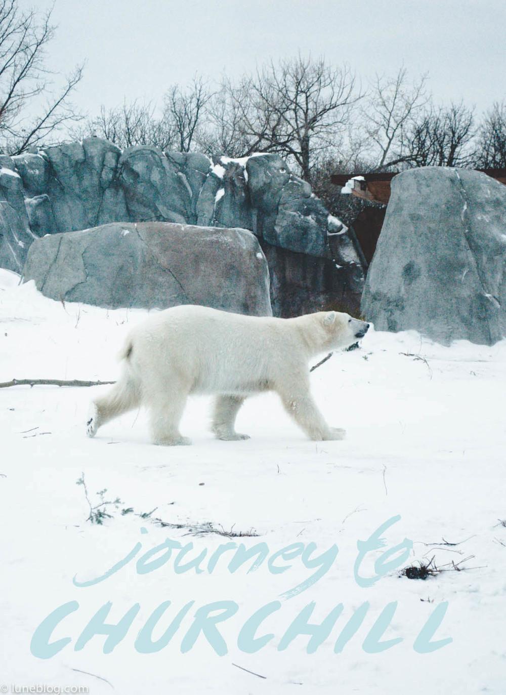 journey to churchill polar bear lune blog (1 of 1).jpg