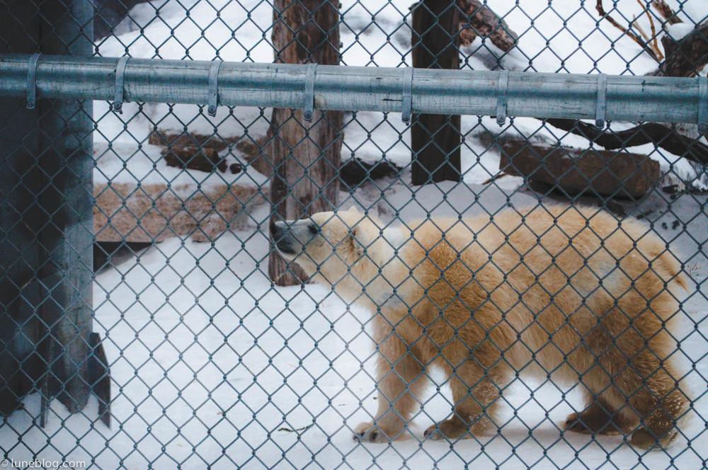 journey to churchill polar bears lune blog (16 of 25).jpg