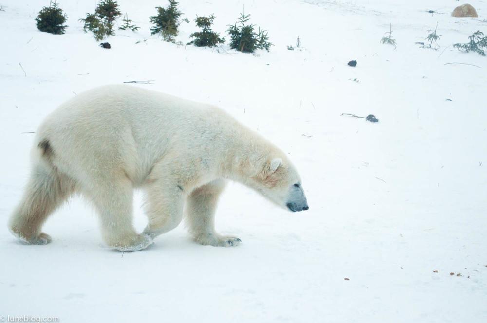 journey to churchill polar bears lune blog (24 of 25).jpg