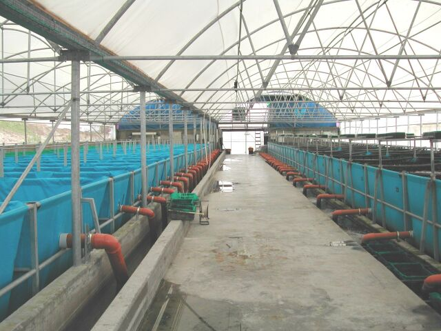 Click photo to download. Caption: A fish farm for breeding koi in Israel. Credit: Hazorea Aquatics.