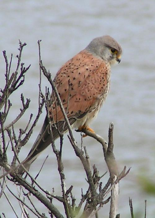 A kestrel, the type of bird Turkey accused of spying for Israel. Credit: Wikimedia Commons.